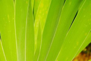 Iris Leaves 26125366 by StockProject1