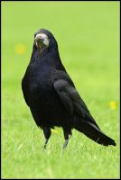 Black Rook by nitsch