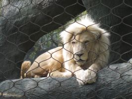 White Lion by TheWiseOldMonkey