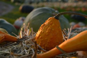 The Baby Pumpkin by Zorodora