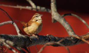 Happy little Wren by natureguy
