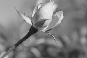 Black and White photo of Rose Bud #2 by Darklordd