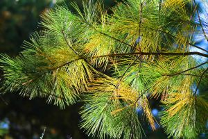 Pine needles by Nookslider