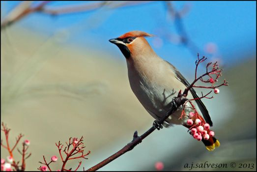 Waxwing III. by andy-j-s