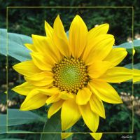 sunflower 886xl by Halla51