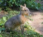 Patagonian Cavy: stock by Lythre-does-photos