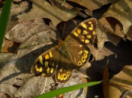 The speckled wood butterfly by Stilleschrei