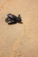 Baby Turtle by vanns