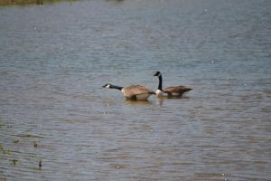 Geese 5 by Noble-Kenshi