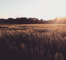 Sunset Field. by SuirisWhite