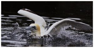 Northern Gannet I by W0LLE
