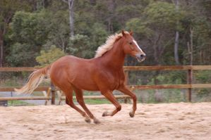 TB gallop in sand by Chunga-Stock