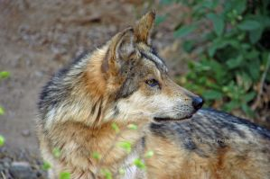 Mexican Gray Wolf 8 by MorrighanGW