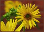 Woodland Sunflower by barcon53