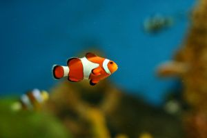 Clown Fish by selflessjunkie5