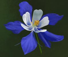 Colorado Blue Columbine by Jenniferard2050