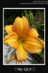 Day Lily II by aniphoto