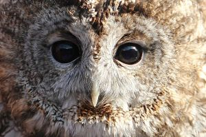 tawny owl by cola93