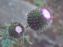 Purple Prickly Bud by TheGerm84