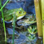 Green frogs I by rosaarvensis