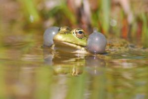 Croaking Frog 14909003 by StockProject1