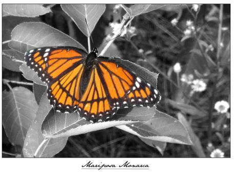 Monarch  Mariposa by X0S0ME