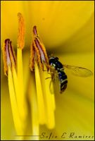 Hoverfly on a Stamen by SofiaERamirez