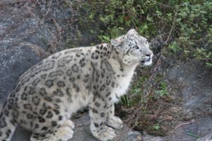 Snow leopard 1 by Isabella3991