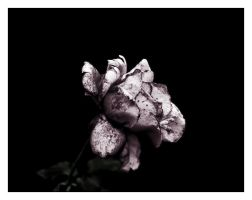 Death of a Rose by andrewmcconville