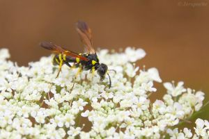 Wasp cousin by Jorapache
