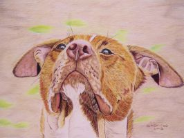 Pit Bull rescue dog colour pencil drawing by shirls-art