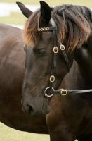 Partbred Friesian Headshot 007 by AmoretteRose