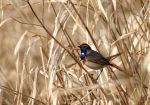 Bluethroat by Nachiii