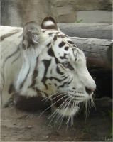 White tiger by LisaLins