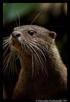 Otter Portrait III by TVD-Photography