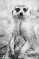 Meerkat portrait by DominikaAniola