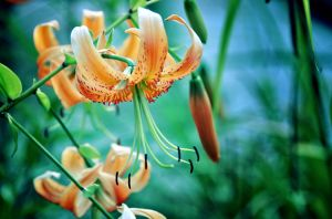 King's Lily by AnnaGreer
