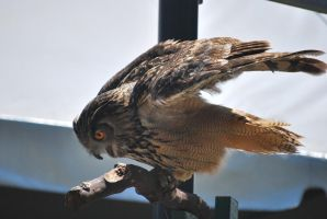 eurasian eagle owl 1.7 by meihua-stock
