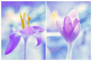 crocus by impatienss