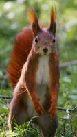 red squirrel, take two by macmaister