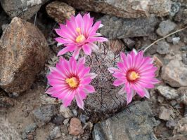 Three Nipple Cactus Flowers by ClymberPaddler