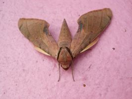 Streaked Sphinx Moth by Malidicus