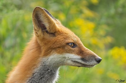 Chili, the Red Fox 60 by Nini1965