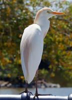Cattle Egret by Fail-Avenger