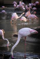 PinkFlamingos_decoratemyyard by ParticleStorm