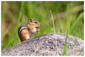 praying chipmunk by Nate-Zeman