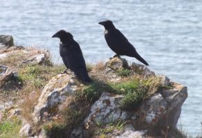 young ravens at Pennard by nonyeB