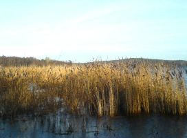 Among the Reeds STOCK by ChaosStocks