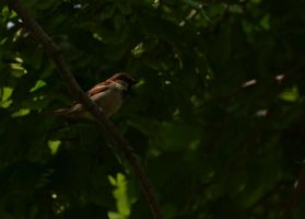House Sparrow 2 by Noble-Kenshi