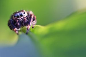 Jumping spider by zach79